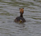 003 Great Crested Grebe_edited-2