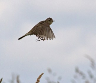 007 Meadow Pipit_edited-2