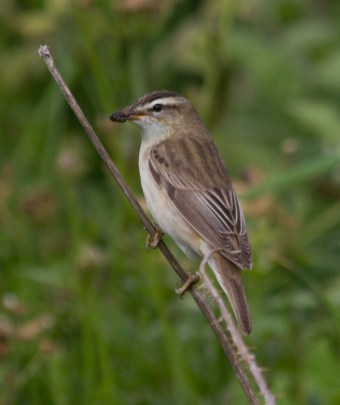 040 Sedge Warbler with caterpillar_edited-2