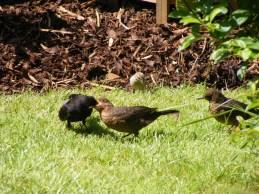 2013_0820Blackbirds0016