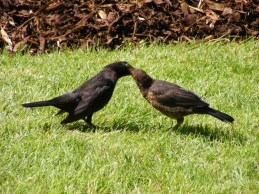 2013_0820Blackbirds0023