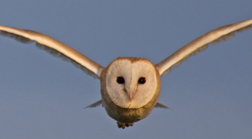 007 Barn Owl over Gillies_edited-3