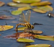 007 Brown Hawker laying eggs_edited-2