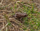 016 Common Toadlet_edited-2
