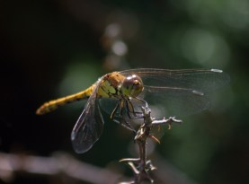 017 Common Darter_edited-2