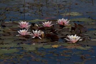 023 Water Lillies Mill Lane Pond_edited-2