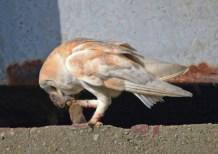 IMG_8697 Barn owl with Vole_edited-1