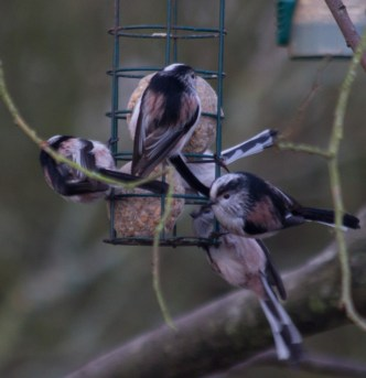 001 Long Tailed Tits on fat balls_edited-2