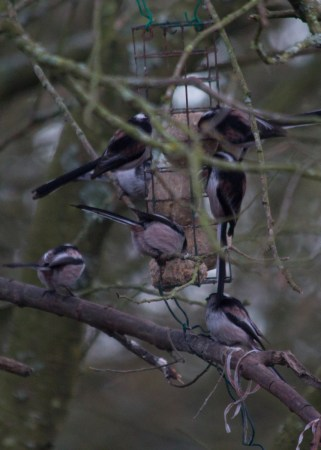 002 Long tailed tits on the ball feeders_edited-2