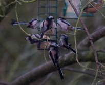 003 Long Tailed Tits on fat balls_edited-2