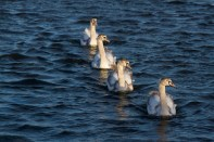 004 Four Cygnets_edited-2