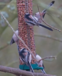 005 Long-tailed tits on the nuts_edited-3