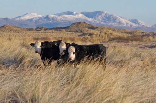 013 Three Cows