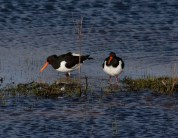 001 Pair of Oystercatchers on long pond_edited-2