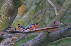 009 Bullfinch 3 male 2 female_edited-2