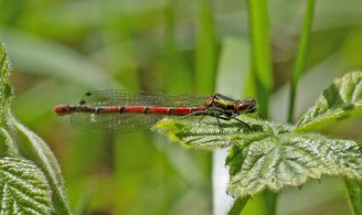 055 Large Red Damselfly_edited-2