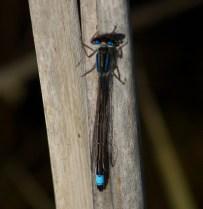 001 Blue-tailed Damselfly Male_edited-2