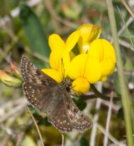 007 Dingy Skipper_edited-2