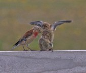 017 Linnet being fed_edited-3