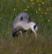 022 Heron having a scratch_edited-2