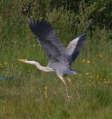 023 Heron lifting Off_edited-2