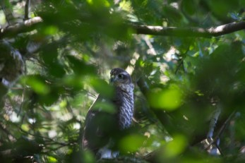 017 Young Sparrow Hawk 26th July 2015_edited-2