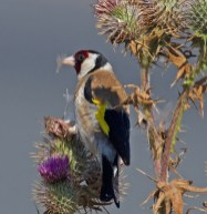 069 Goldfinch on thistle_edited-2