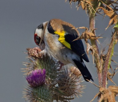070 Goldfinch on thistle_edited-2