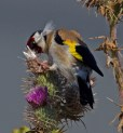 078 Goldfinch on thistle_edited-2