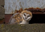 080 Young Barn Owl at tower