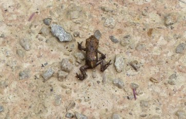 P1010582 Common Toadlets (1)_edited-1