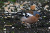 003 Chaffinch with bad leg_edited-2