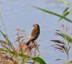 003 Stonechat at fishing pond_edited-2