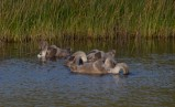 019 Five Cygnets_edited-2