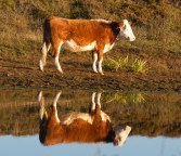 006 Cow reflection_edited-2 - Copy