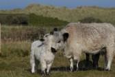 016 British White Cow and calf_edited-2