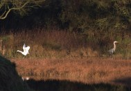 009 Little Egret and Heron_edited-2