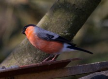 011 Male Bullfinch_edited-2