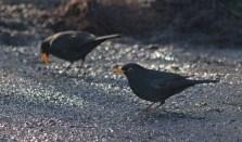 012 Two male Blackbirds_edited-2