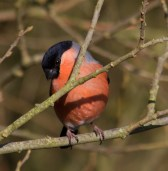 IMG_1562 Male Bullfinch