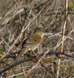 IMG_1649 Singing Grasshopper Warbler