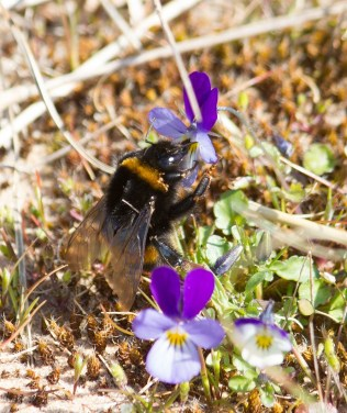 IMG_1706 Bumblebee on Wild Pansy (see lice on neck) edit