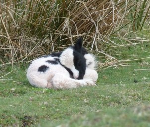P1010824 Sleeping lamb