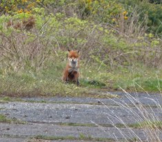 P1010841 Watching Fox