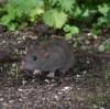 IMG_1826 Rat at feeders