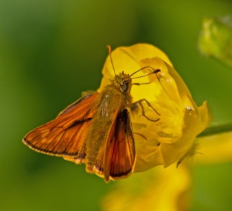 IMG_1907 Large Skipper on Buttercup