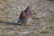 IMG_2024 Resting racing Pigeon