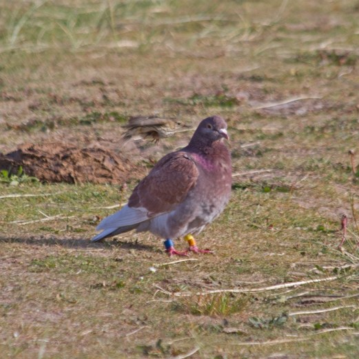 IMG_2030 Resting Racing Pigeon being harassed by Meadow Pipit