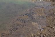 IMG_2037 Natterjack Tadpoles new pond - Copy