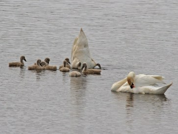 IMG_2176 Swan gathering weed for Cygnets